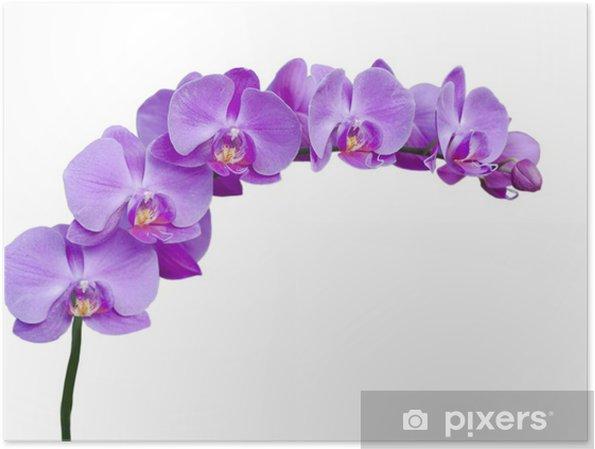 Póster Una Rama De Lilas Flores De Orquídeas En Un Fondo Blanco