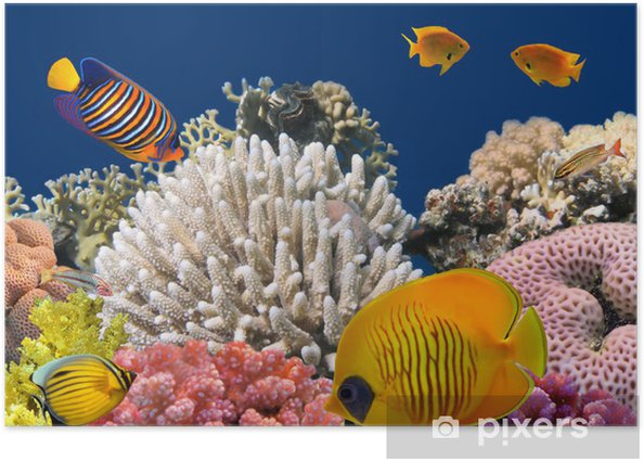 Underwater life of a hard-coral reef, Red Sea, Egypt Poster - Coral reef