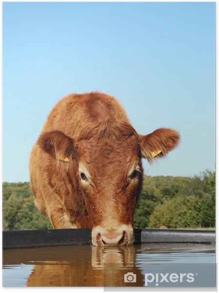 Poster Vache Limousin potable avec une réflexion tête - Agriculture