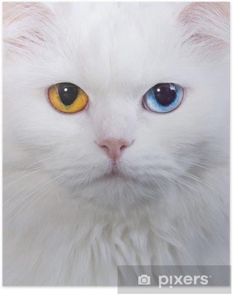 Poster Varicoloured yeux chat blanc - Thèmes