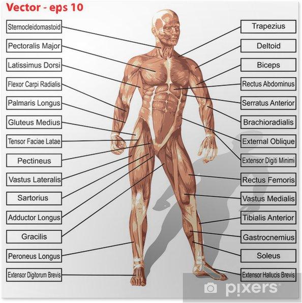 Poster Vektor Mnsklig Mnniska Anatomi Med Muskler Text