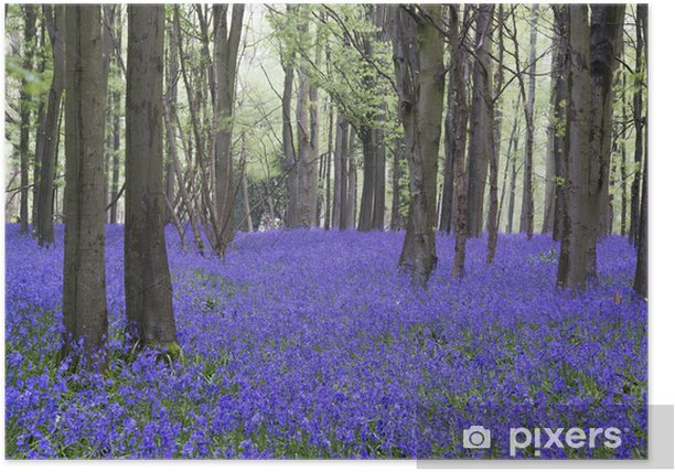 Poster Vibrant Bluebell tapis paysage forestier de source - Forêt