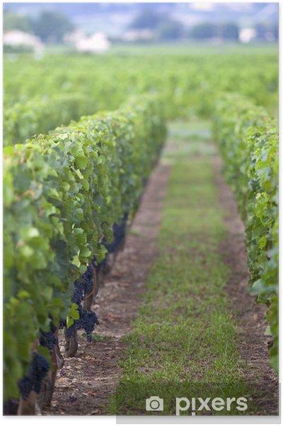 Poster Vignes, vignoble, vin, raisin, viticulture, œnologie, Bordeaux - Agriculture