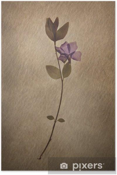 Poster Vinca minor - Fleurs