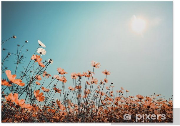 Vintage landscape nature background of beautiful cosmos flower field on sky with sunlight in spring. vintage color tone filter effect Poster - Landscapes