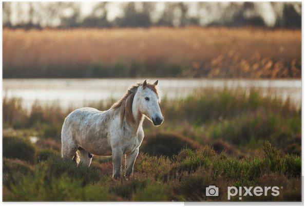 Poster Vit häst i Camargue horisontellt på landsbygden - Teman