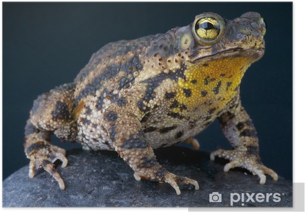 Poster Warty Toad / Bufo granulosa - Amérique