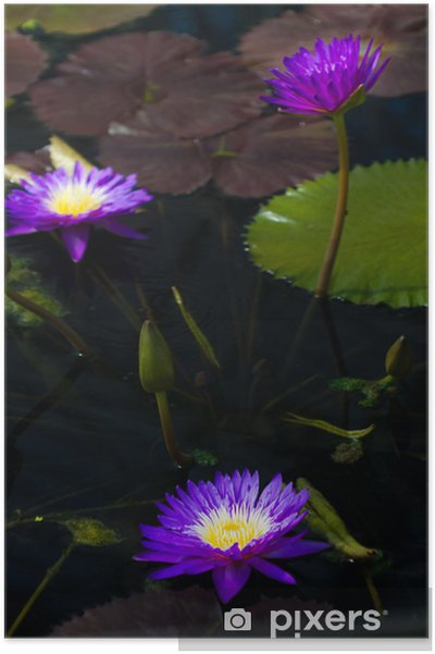 Poster Water Lilly - Bonheur