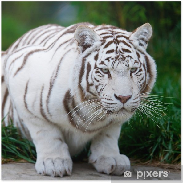 Poster White Bengal Tiger - Thèmes