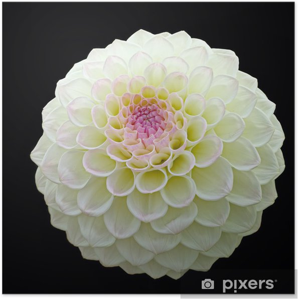 White Pom Pom Dahlia Bloom With Purple Centre Isolated On Black