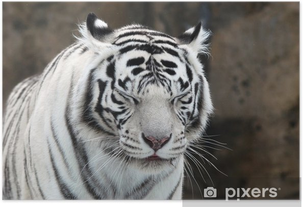 white Tiger Poster - Themes