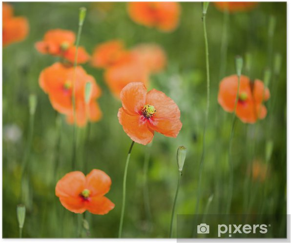 Wild poppies growing in a spring field Poster