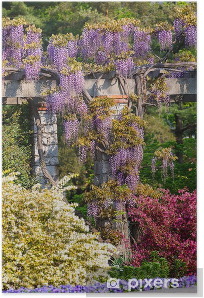 Wisteria Vine Poster Pixers We Live To Change