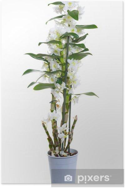 Bloemen In Pot.Poster Witte Dendrobium Nobile Bloemen In Pot