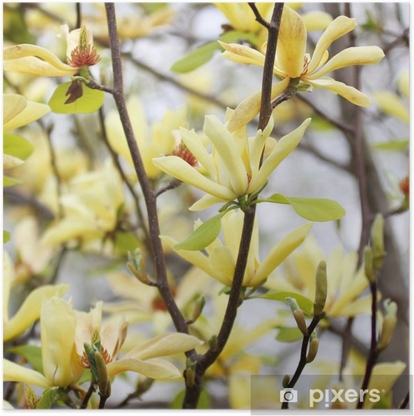 Yellow Flowers Magnolia Tree Blossoms Poster Pixers We Live To