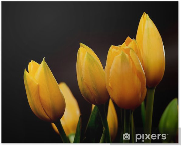 Yellow Tulips Poster - Themes