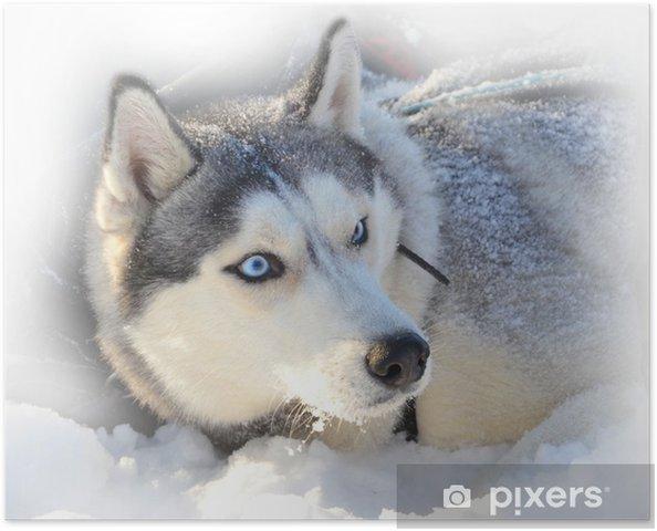 Poster Yeux bleus Husky sibérien enterré dans la neige - Husky