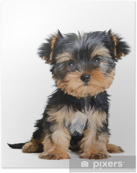 yorkshire terrier Poster - Wall decals