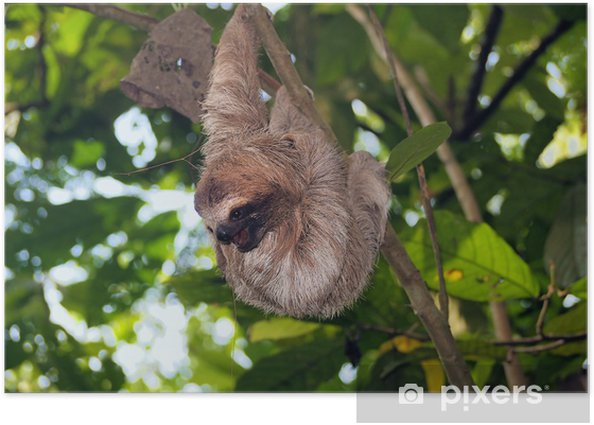 Young brown-throated sloth in tree Poster - Mammals