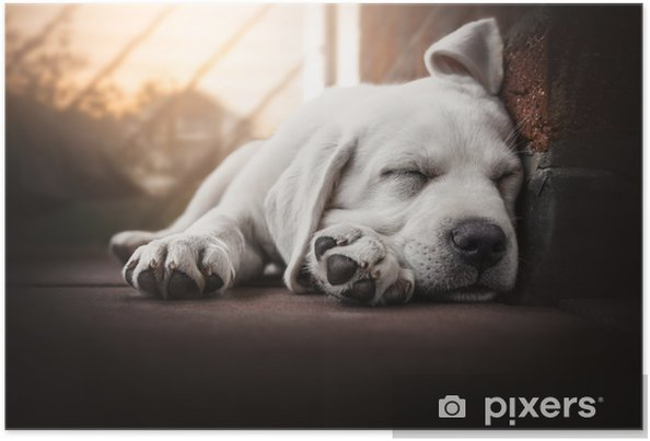 young cute labrador retriever dog puppy lies in the sun sleeping Poster