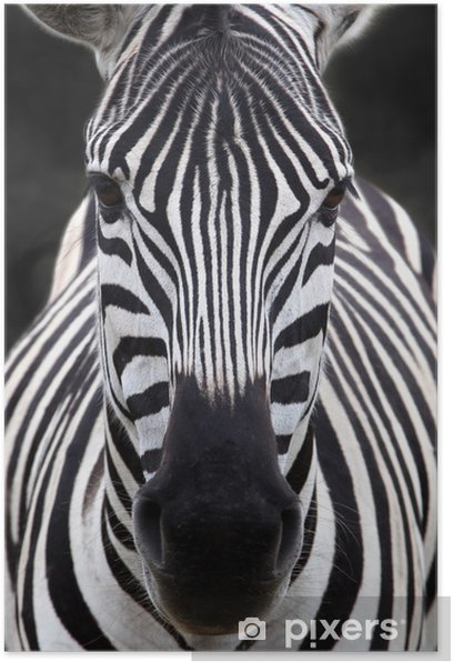 Zebra head Poster - Themes
