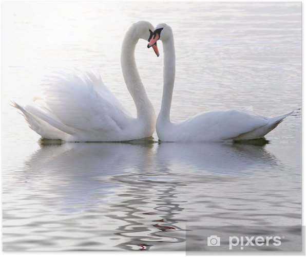 Poster Zwanen in de liefde - Zwanen