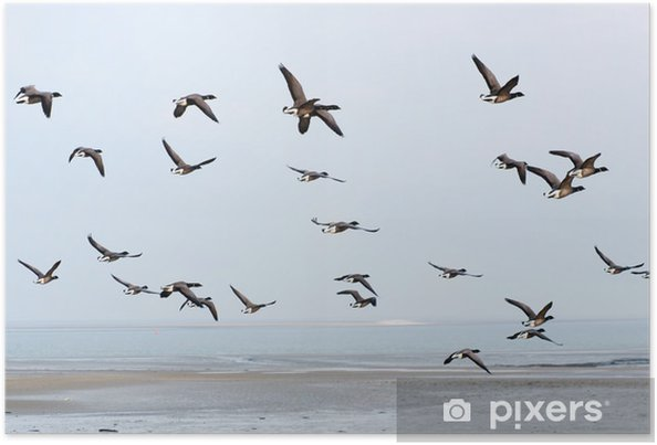 Poster Zwerm Brent ganzen boven de Waddenzee - Vogels