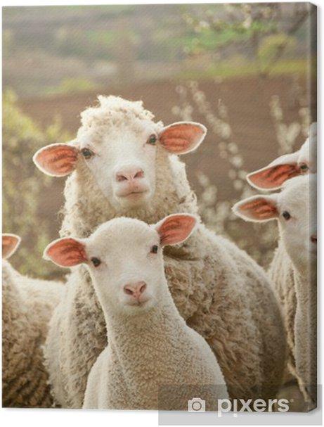 Sheep on pasture Premium prints - iStaging