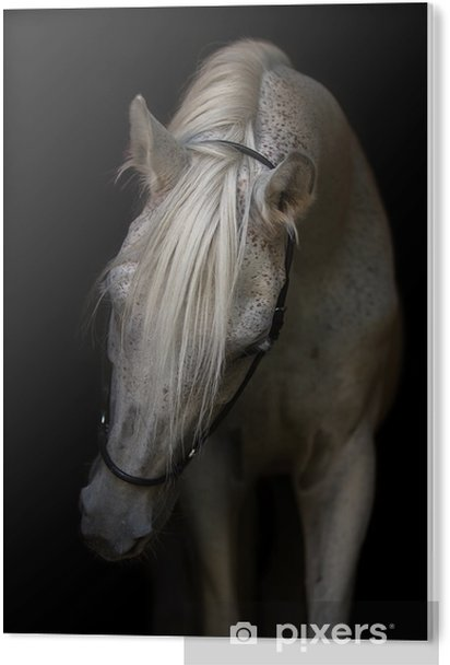 Portrait of an Arabian horse on white background. PVC Print - Animals