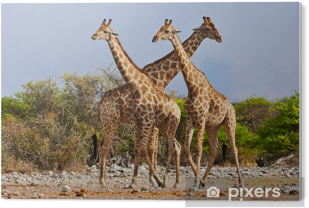 three giraffes walking in Etosha National Park PVC Print - Themes
