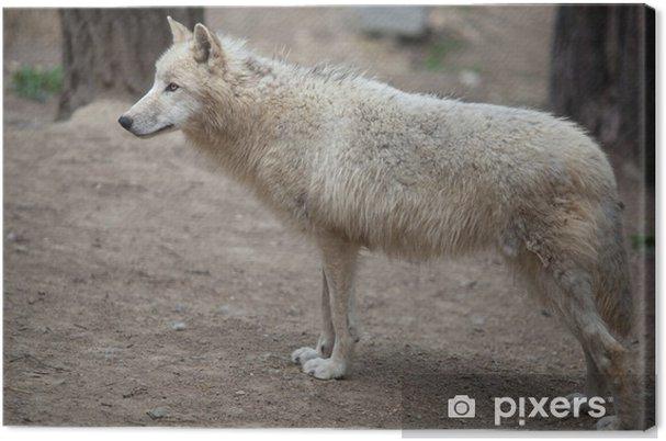 Quadro su tela arctic wolf canis lupus arctos aka lupo polare o