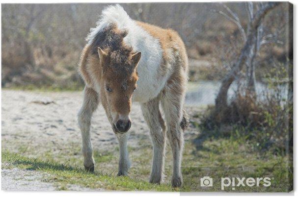 Quadro su Tela Assateague bambino cavallo giovane cucciolo di pony selvatici - Mammiferi