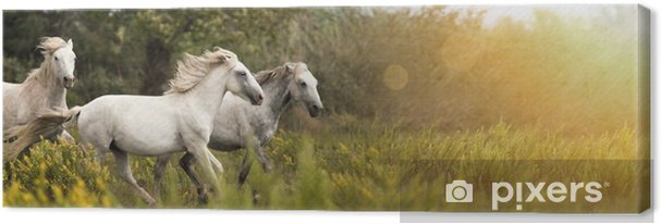 Quadro su Tela Bellissimi cavalli bianchi che corrono nel campo - Animali