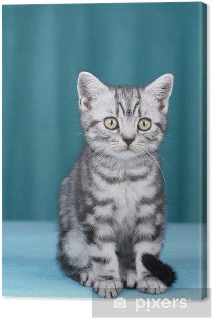 Quadro su Tela Britisch Kurzhaar Kätzchen frontale mit Blick in Kamera - Temi
