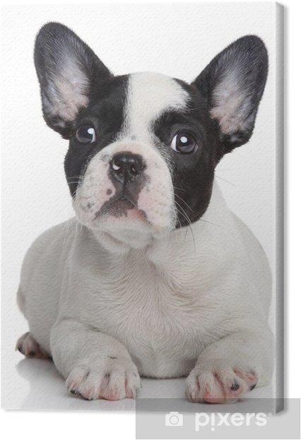 Bulldog Francese Cucciolo Bianco