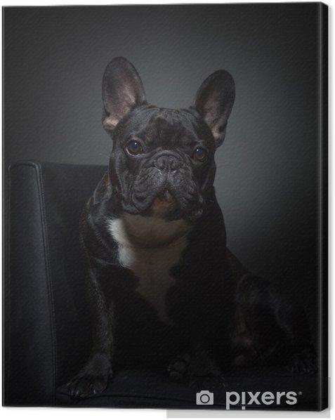 Quadro su Tela Carino nero buldog francese in posa per la macchina fotografica sulla sedia - Bulldog Francesi