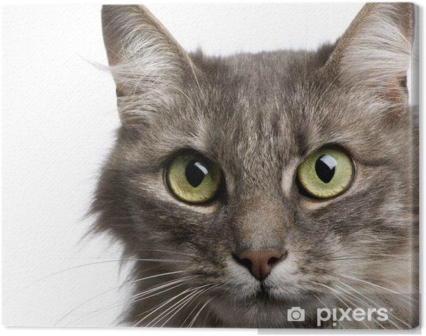 Quadro su tela close up su un gatto angora incrocio e gatto europeo