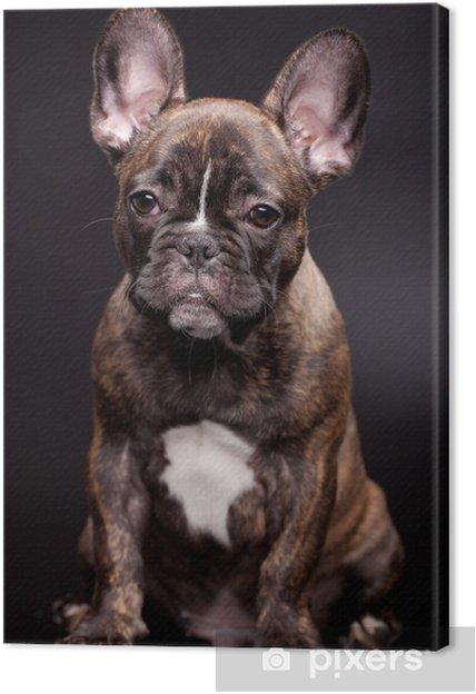 Quadro Su Tela Cucciolo Bulldog Francese 35 Mounth Vecchio Su