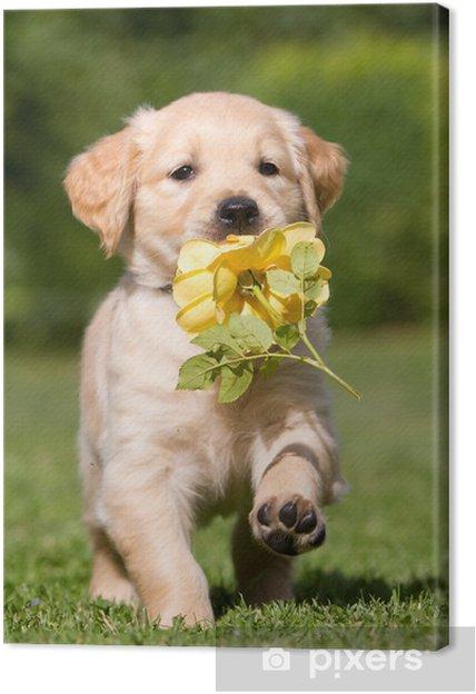 Quadro Su Tela Cucciolo Di Golden Retriever Con Fiore Pixers