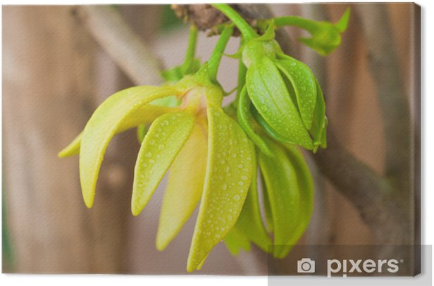 Quadro su Tela Fiori ylang-ylang su albero, Thailandia - Fiori