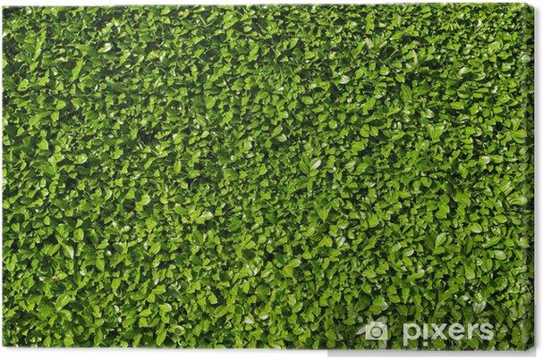 Quadro Su Tela Foglie Di Alloro Siepe Di Cespugli Di Alloro Verde