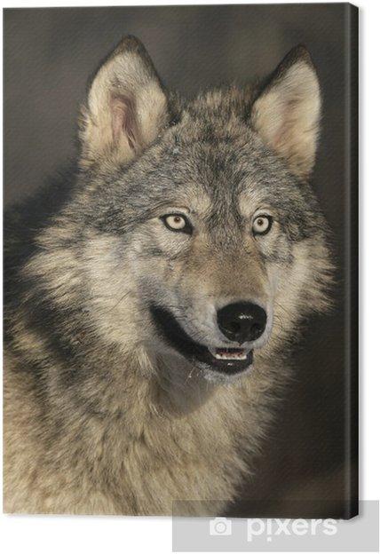 Quadro su tela grigio lupo canis lupus u2022 pixers® viviamo per il