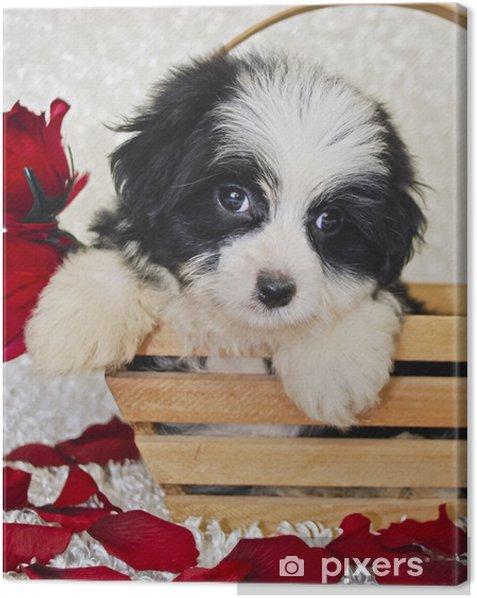 Quadro su Tela In bianco e nero di Havanese cucciolo - Mammiferi