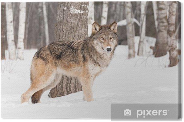 Quadro su tela lupo grigio canis lupus si trova di fronte albero