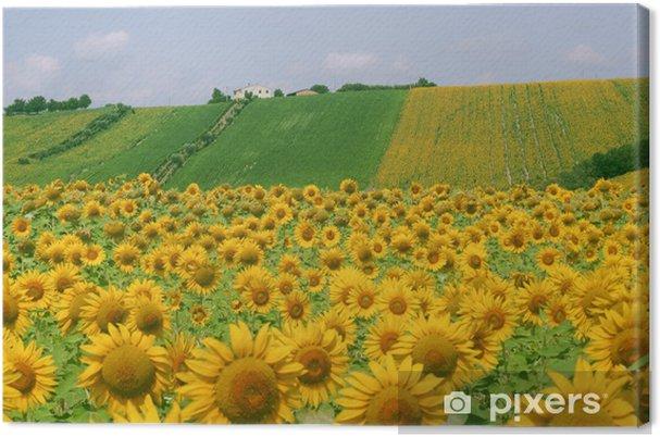 Quadro su Tela Marche (Italia) - Paesaggio con girasoli in estate ...