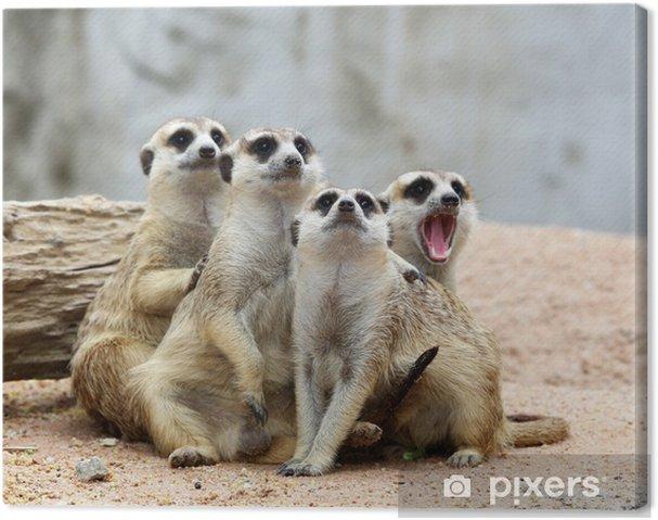 Quadro su Tela Meerkats - Mammiferi