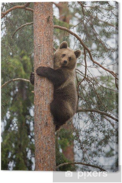 Quadro su Tela Orso bruno arrampicata albero nella foresta Tiaga - Temi