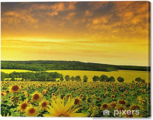 Quadro su Tela Primavera del paesaggio con campo di girasole al ...