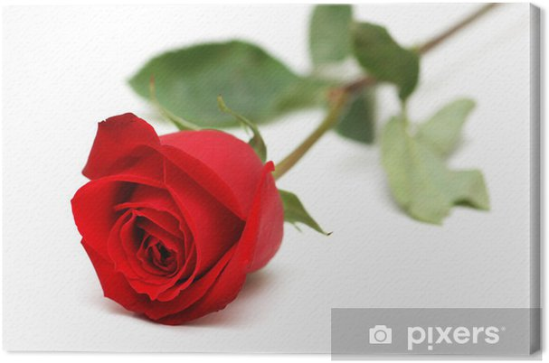 Quadro Su Tela Rosa Rossa Isolato Su Sfondo Bianco Pixers