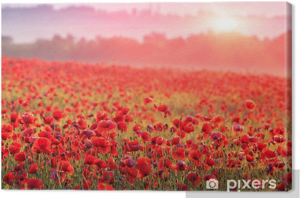 Quadro su Tela Rosso campo di papaveri nella nebbia mattutina - Prati, campi ed erba